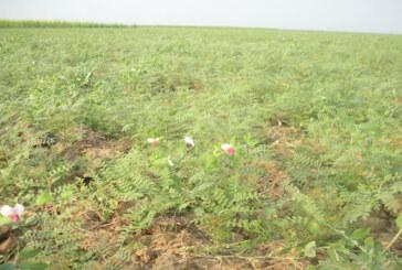 दलहन की खेती पर कोहरे की मार: परेशान हैं टाल के किसान