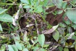 आलू की फसल को झुलसा रोग व माॅहू कीट से बचायें
