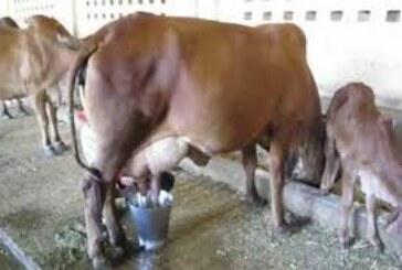 ठंड में दूध उत्पादन होगा प्रभावित.. बचाव के लिए कराएं टीकाकरण