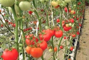 टमाटर की खेती से बहुरेंगे किसानों के दिन