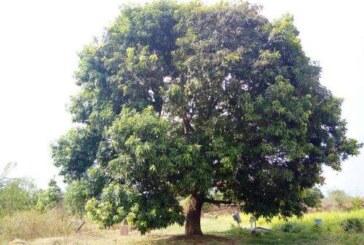पेड़ एक, 51 तरह के आम