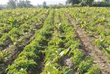 उड़द और मूंग दाल का नहीं होगा आयात..किसानों को होगा फायदा