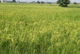 धान को गंधी कीट से बचाव जरूरी, खेतों में बनी रहे नमी