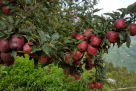 हिमालय की सेब उत्पादन पट्टी में बदल रही है किसानों की पसंद
