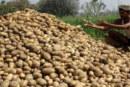 हरियाणा के किसानों ने आलू की खेती से की तौबा
