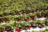 स्ट्राबेरी की खेती से भागलपुर के किसान होंगे मालामाल