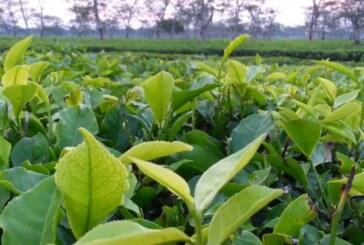 रसायन मुक्त चाय उत्पादन में मददगार हो सकते हैं सूक्ष्मजीव