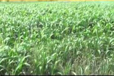 बोले कृषि वैज्ञानिक…बरसीम की तत्काल बोआई करें किसान