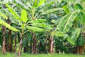 केले के पत्ते पर भोजन..पर्यावरण की सुरक्षा, किसानों को आमद भी
