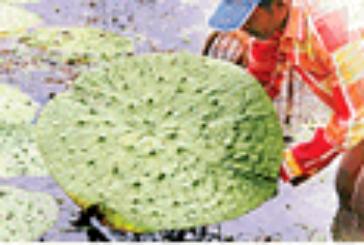 मध्य प्रदेश में धान के खेतों में होगी मखाने की खेती