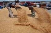 कारोना के आफत बीच धान तो जैसे तैसे निपटा,गेहूं खरीदगी की बाट जोहता किसान